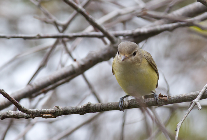 A Warbling Vireo on Assateague Island, Maryland (9/18/2011). Photo by Bill Hubick.