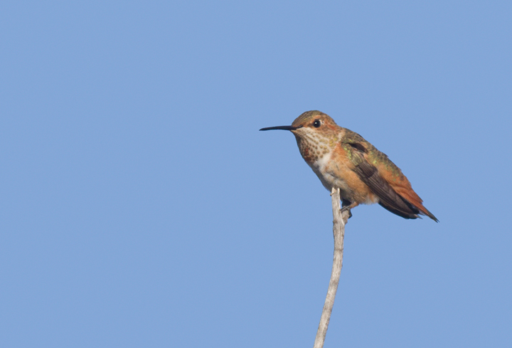 A presumed Allen's Hummingbird near the Tijuana River mouth in San Diego Co., California (10/7/2011). Photo by Bill Hubick.