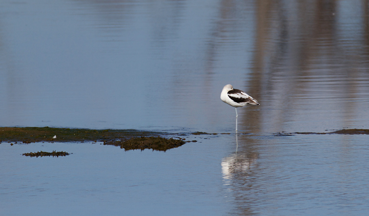 A roosting American Avocet at Bolsa Chica, California (10/6/2011). Photo by Bill Hubick.