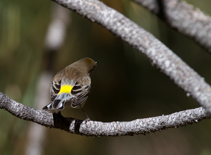 An Audubon's Warbler in Santa Barbara Co., California (10/1/2011). Photo by Bill Hubick.