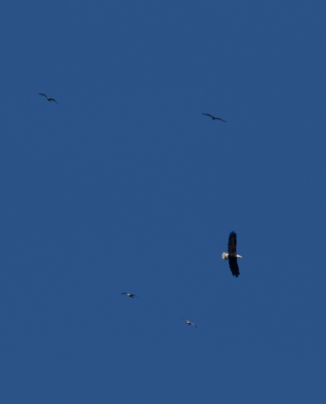 A Bald Eagle soars overhead as we departs Prisoners Harbor, Santa Cruz, California (10/2/2011). Photo by Bill Hubick.