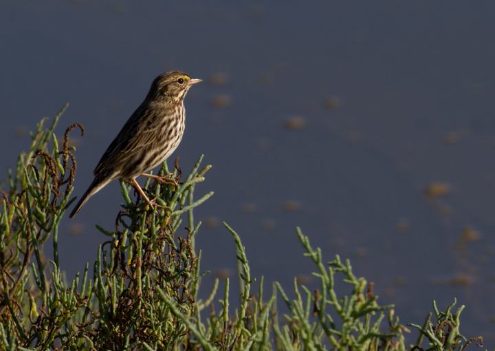 A Belding's Savannah Sparrow at Bolsa Chica, California (10/6/2011). Photo by Bill Hubick.