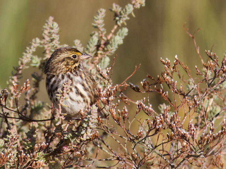 A Belding's Sparrow near the Tijuana River mouth, San Diego Co., California (10/7/2011). Photo by Bill Hubick.