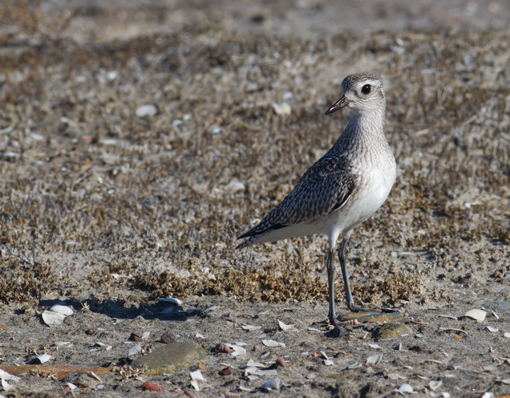 A Black-bellied Plover near the Tijuana River, California (10/7/2011). Photo by Bill Hubick.