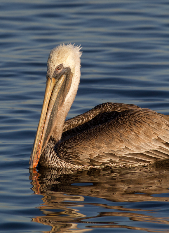 A Brown Pelican in the morning sun at Bolsa Chica, California (10/6/2011). Photo by Bill Hubick.