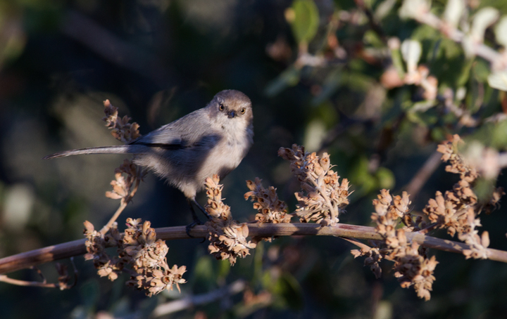 A Bushtit in Santa Barbara Co., California (10/1/2011). Photo by Bill Hubick.