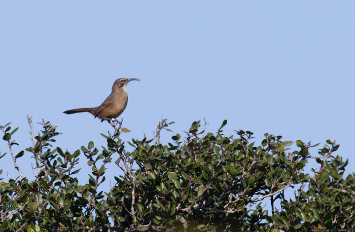 A California Thrasher at Cabrillo NM, California (10/7/2011). Photo by Bill Hubick.