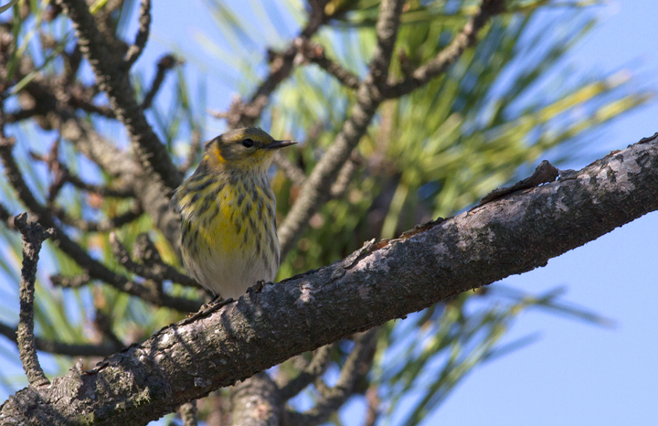 Cape May Warblers on Assateague Island, Maryland (10/16/2011). Photo by Bill Hubick.