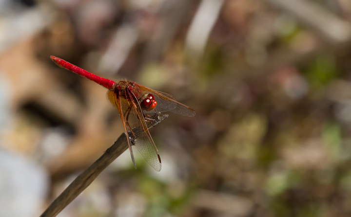 A Cardinal Meadowhawk on Santa Cruz Island, California (10/2/2011). Photo by Bill Hubick.