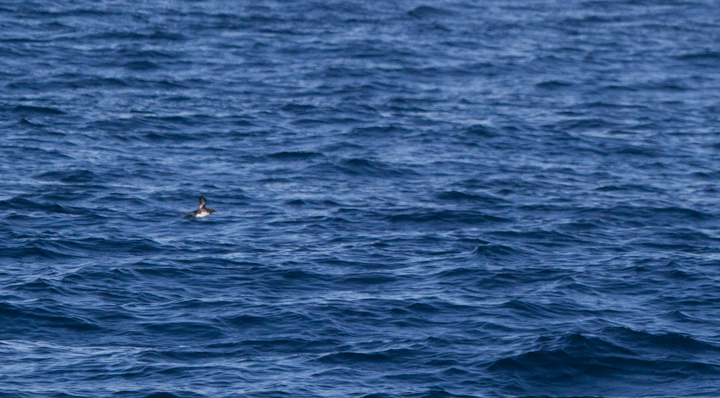 A distant Cassin's Auklet - off San Diego, California (10/8/2011). Photo by Bill Hubick.