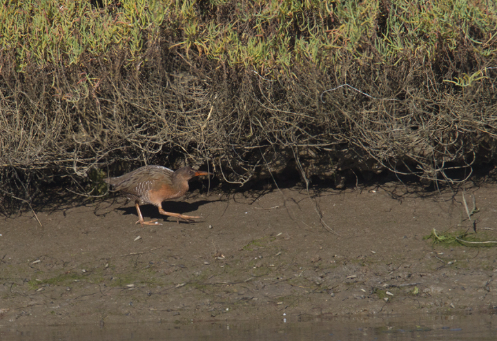 A &quot;Light-footed&quot; Clapper Rail (<em>R. l. levipes</em>) forages on the mudflats near the mouth of the Tijuana River in southernmost California (10/7/2011). Photo by Bill Hubick.