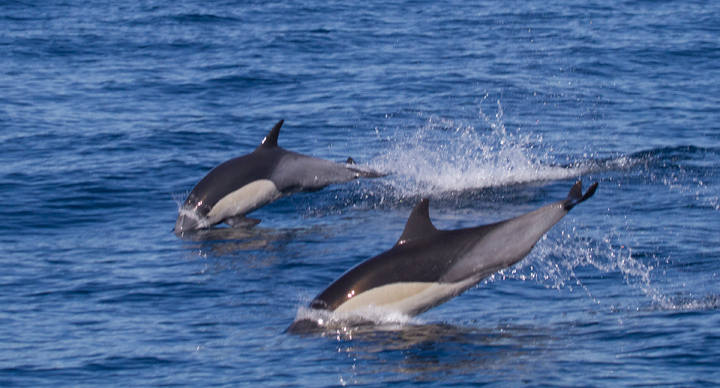 Commin Dolphins off San Diego, California (10/8/2011). Photo by Bill Hubick.