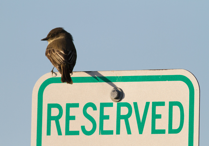 An Eastern Phoebe at Bayside, Assateague Island, Maryland (10/16/2011). Photo by Bill Hubick.