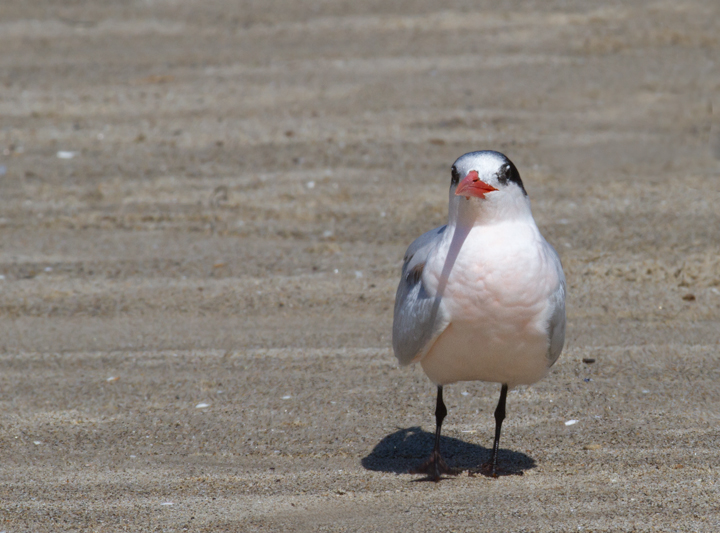 A very pink Elegant Tern on the beach at Malibu Lagoon, California (9/30/2011). Photo by Bill Hubick.