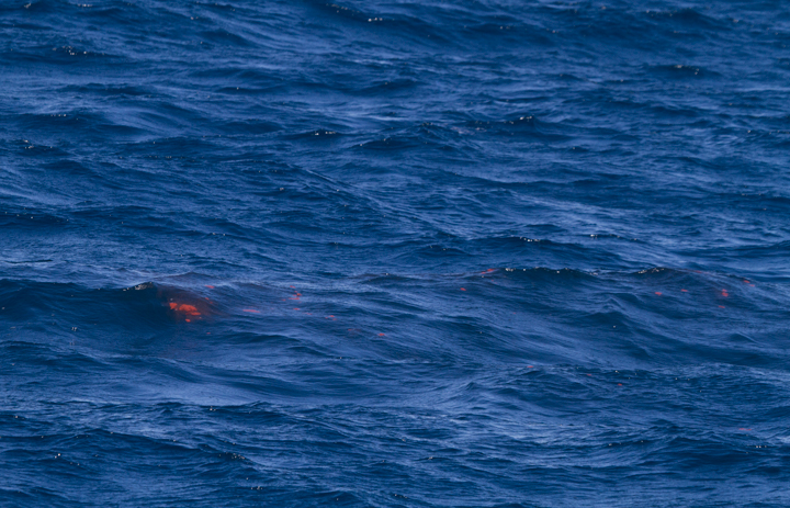Fin Whale waste left before one individual disappeared into the deep. Photo by Bill Hubick.