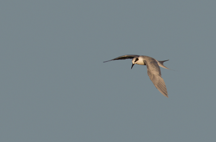 A Forster's Tern at Bolsa Chica, California (10/6/2011).  Photo by Bill Hubick.