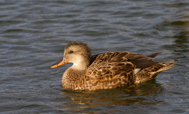 A Gadwall in eastern Los Angeles Co., California (10/4/2011). Photo by Bill Hubick.
