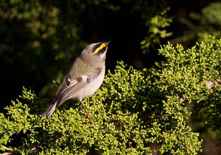 A Golden-crowned Kinglet at Bayside, Assateague Island, Maryland (10/16/2011). Photo by Bill Hubick.