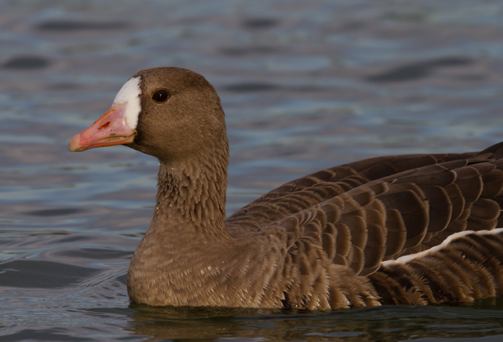 A western Greater White-fronted Goose in eastern Los Angeles Co., California (10/4/2011). Photo by Bill Hubick.