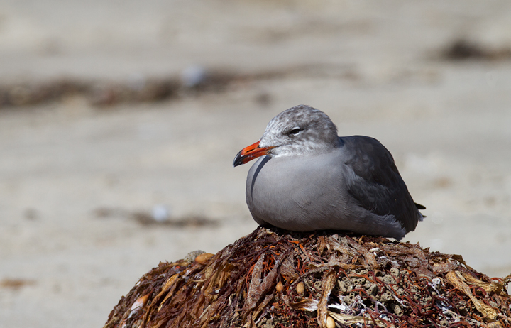 An adult Heermann's Gull at Malibu Lagoon, California (9/30/2011). Photo by Bill Hubick.