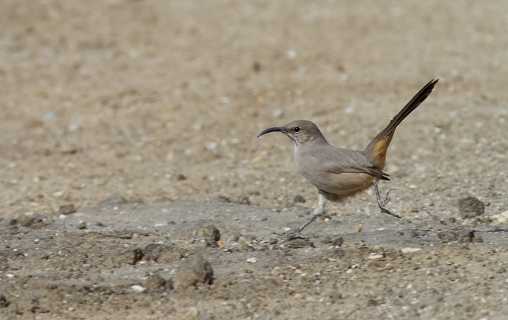 A Le Conte's Thrasher allows rare glimpses as it runs between patches of desert scrub in Kern Co., California (10/3/2011). Photo by Bill Hubick.