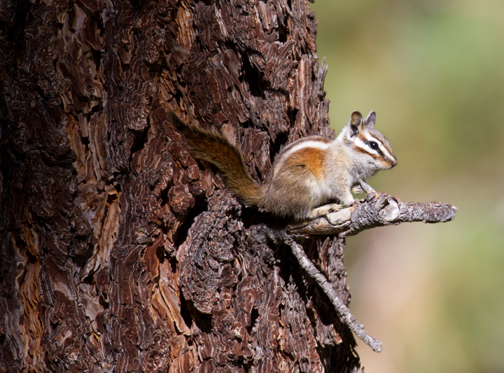A Lodgepole Chipmunk on Mount Pinos, California (10/1/2011). Photo by Bill Hubick.