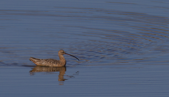 A Long-billed Curlew at Bolsa Chica, California (10/6/2011). Photo by Bill Hubick.