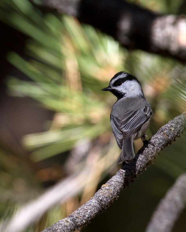 A Mountain Chickadee in the hills above Santa Barbara, California (10/1/2011). Photo by Bill Hubick.