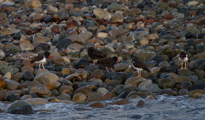 "American-type Oystercatchers among Black Oystercatchers in San Diego Harbor at dawn. One of the three American-types might fall within range of a ""pure"" American, but the other two show more signs of hybridization. Photo by Bill Hubick."