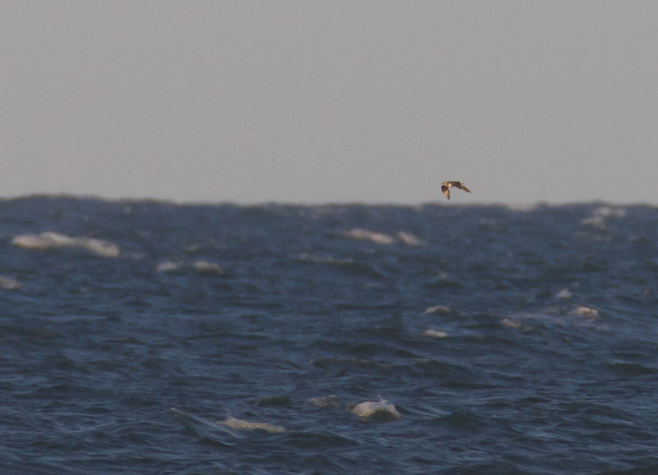A distant Parastic Jaeger off Assateague Island (10/16/2011) - an overdue new photo species for me in Maryland (#370). Photo by Bill Hubick.