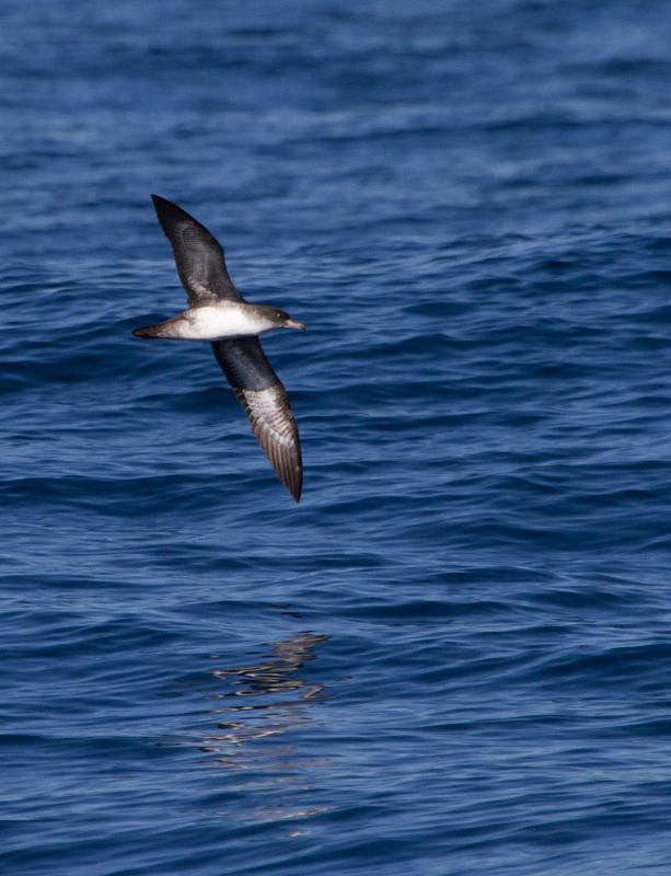 Pink-footed Shearwaters off San Diego Co., California (10/8/2011). Photo by Bill Hubick.