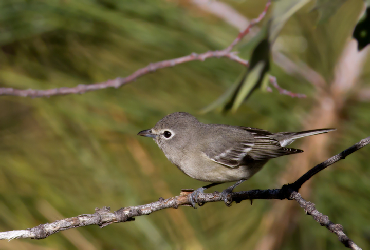 A Plumbeous Vireo near McGill Campground, California (10/1/2011). Photo by Bill Hubick.