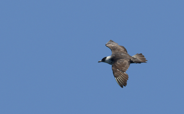 Some of the 100+ Pomarine Jaegers we thoroughly enjoyed off San Diego, California on 10/8/2011. Photo by Bill Hubick.