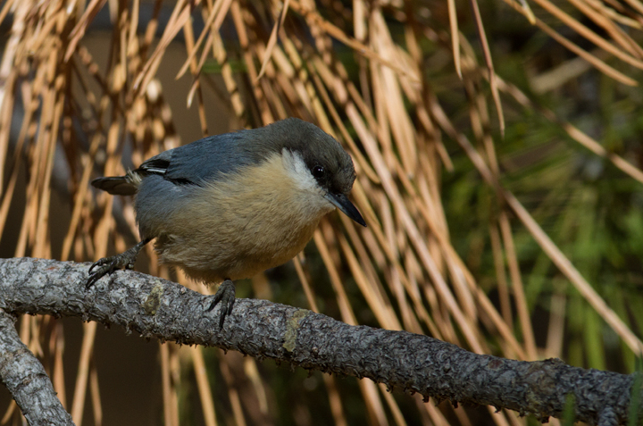 A Pygmy Nuthatch near McGill Campground, California (10/1/2011). Photo by Bill Hubick.