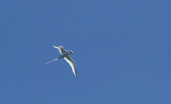 A Red-billed Tropicbird was an excellent highlight on a 10/8/11 pelagic out of San Diego. Photo by Bill Hubick.