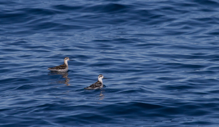 Red-necked Phalaropes off San Diego, California (10/8/2011). Photo by Bill Hubick.