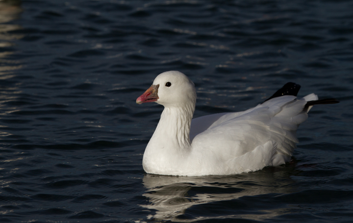 A Ross's Goose at Apollo Park, California (10/4/2011). Photo by Bill Hubick.
