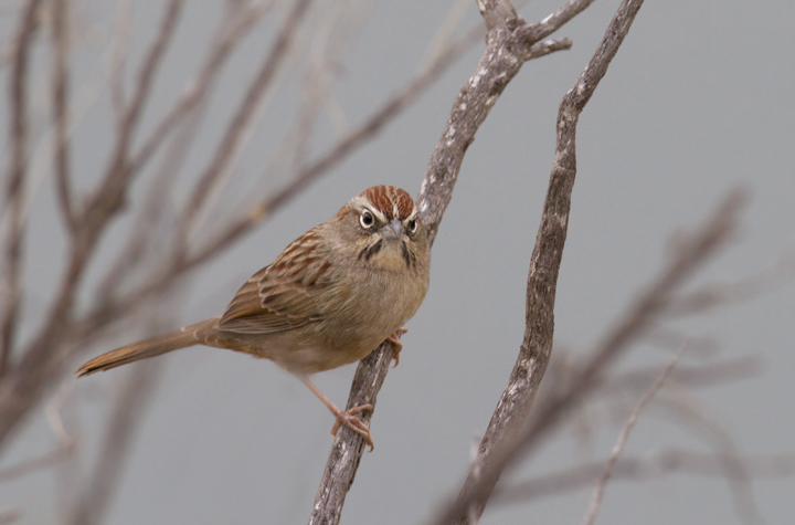 A Rufous-crowned Sparrow near Lake Piru, California (10/4/2011). Photo by Bill Hubick.