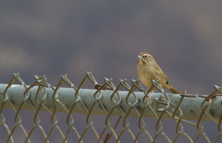 A Rufous-crowned Sparrow near Lake Piru, California (10/4/2011 Photo by Bill Hubick.