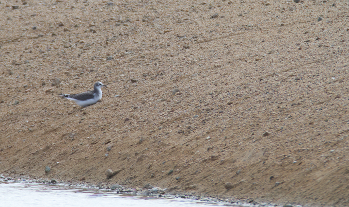 A juvenile Sabine's Gull visiting a desert oasis near Mojave, California (10/4 and 10/5/2011) Photo by Bill Hubick.