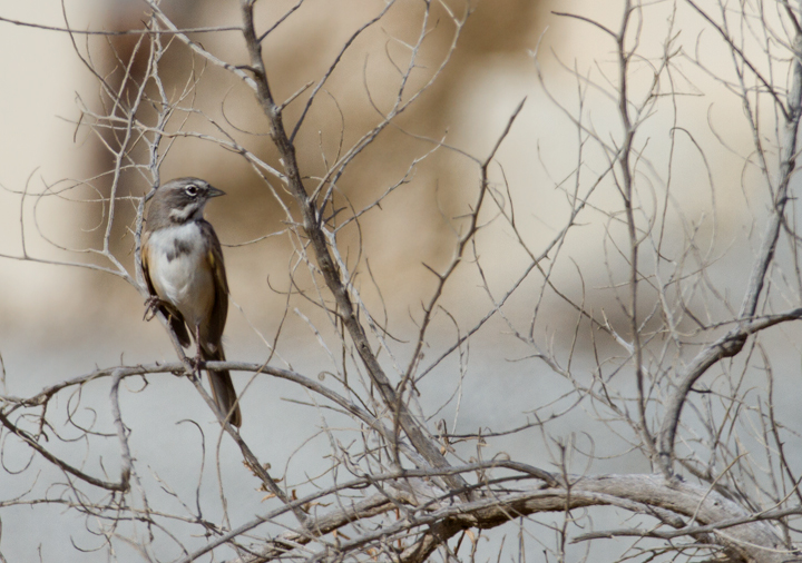 The <em>canescens</em> subspecies of Sage Sparrow near Maricopa, California (10/3/2011). Photo by Bill Hubick.