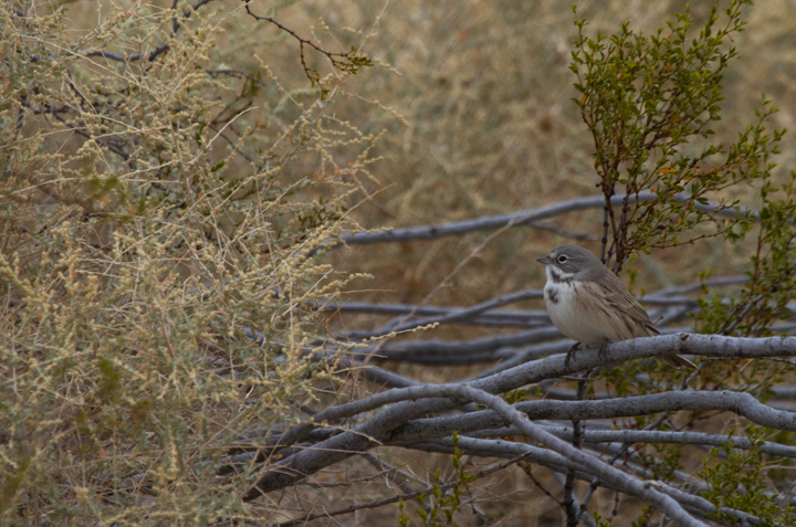 Sage Sparrows (<em>canescens</em>) at Galileo Hill, California (10/5/2011). Photo by Bill Hubick.