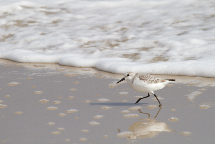 A Sanderling on Assateague Island, Maryland (10/16/2011). Photo by Bill Hubick.