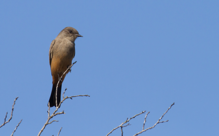 A Say's Phoebe at Cabrillo NM, California (10/7/2011). Photo by Bill Hubick.