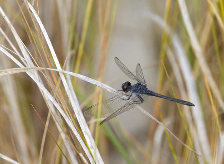 A late male Seaside Dragonlet on Assateague Island, Maryland (10/16/2011). Photo by Bill Hubick.