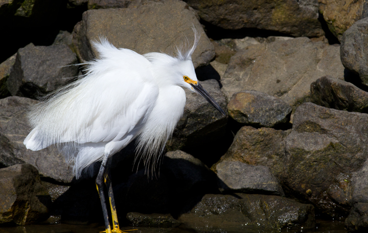 A needy juvenile Snowy Egret exhausts its parent at Bolsa Chica, California (10/06/2011). Photo by Bill Hubick.