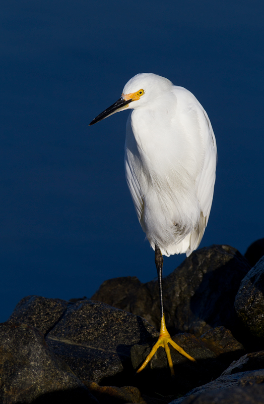 A Snowy Egret at Bolsa Chica, California (10/6/2011). Photo by Bill Hubick.