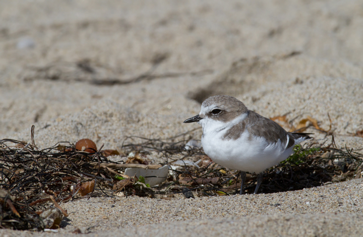 I couldn't stop photographing Snowy Plovers this trip. Expect many more in later updates! (Malibu, 9/30/2011) Photo by Bill Hubick.