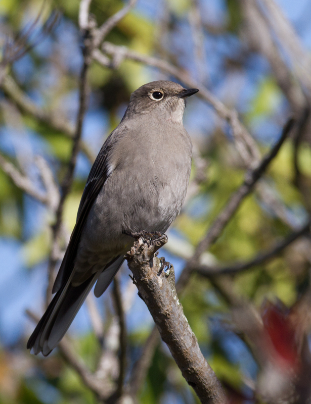 A Townsend's Solitaire at Cabrillo National Monument, California (10/7/2011). Photo by Bill Hubick.