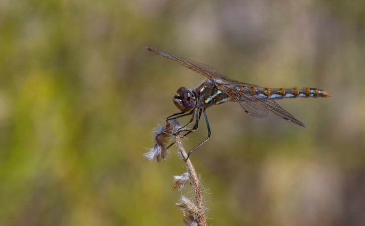 A Variegated Meadowhawk in Jawbone Canyon, California (10/5/2011). Photo by Bill Hubick.